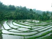 bali-rice-paddy
